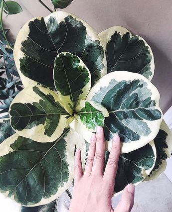 New obsession next to variegated monstera... VARIEGATED FIDDLE