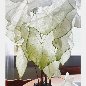 moonlight caladium 🌙 adding this beauty to my plant wish list