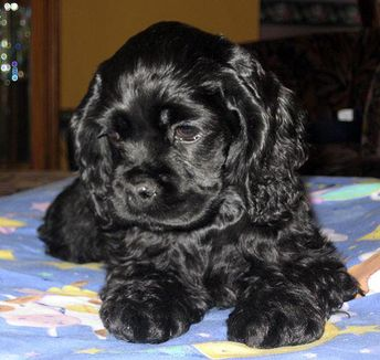 Cocker spaniel!  #cockerspanielpuppies