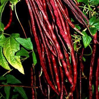 Red Noodle Bean Yard Long Bean 20 heirloom seeds Asparagus