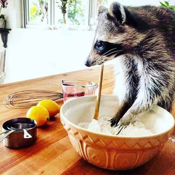 Meet Pumpkin, The Orphaned Raccoon That Now Thinks She's A Dog