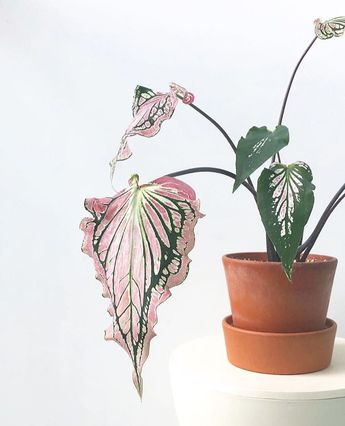 "Caladium Thai Beauty- House Plant Club (@houseplantclub) on Instagram: ""Show the world your beauty💕 📷: @_albertpang_ thanks for sharing with #houseplantclub"""