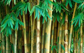 Fastest growing plant. Certain species of bamboo can grow 91 cm (3 ft) within a 24-hour period, at a rate of almost 4 cm (1.5 in) an hour (a growth around 1 mm every 90 seconds, or one inch every 40 minutes)
