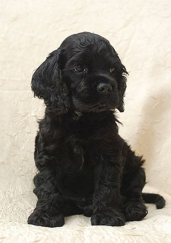 Black american cocker spaniel puppy