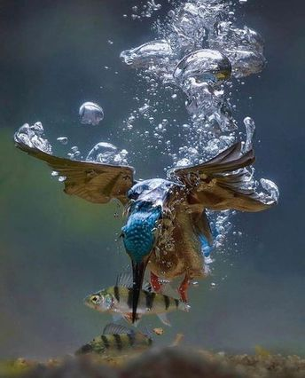 A Kingfisher's underwater hunt