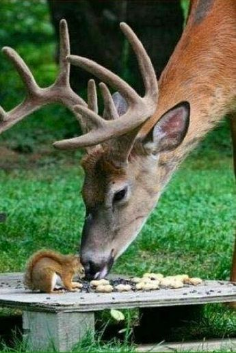 DEER and SQUIRREL....It's nice to share.....