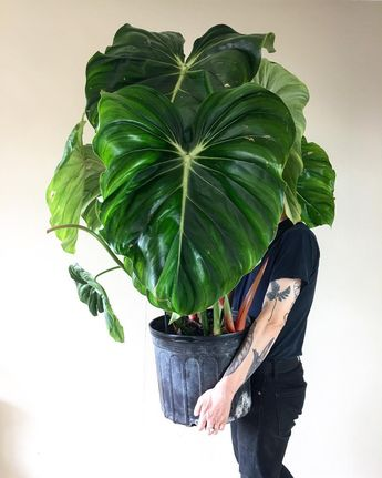 "Tylor on Instagram: ""Have a VERY good Philodendron Friday 😉🌿"""