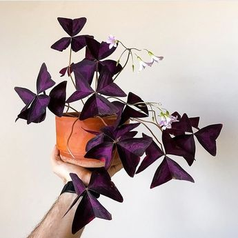 "1,505 mentions J'aime, 12 commentaires - The Botanical Room (@thebotanicalroom) sur Instagram : ""Still in love with #oxalistriangularis 💜💜💜This one is an especially willfull copy! 📷by:…"""