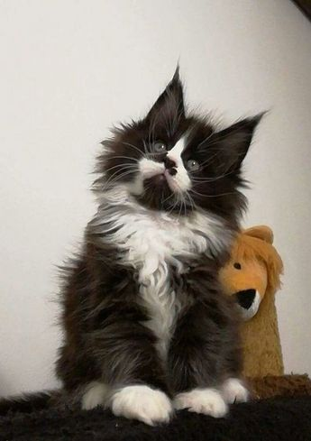 Black and White Maine Coon Kitten #mainecoon #kittens #cats