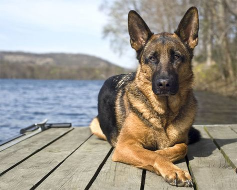 LEO: German Shepherd - What Dog Breed You Should Get According To Your Sign - Photos