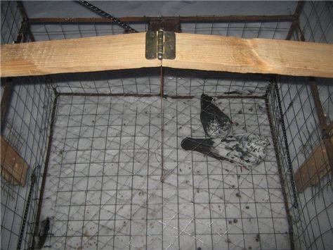 Как сделать ловушку для домашних голубей
