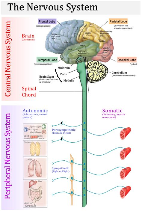 Anatomy of the brain and nervous system