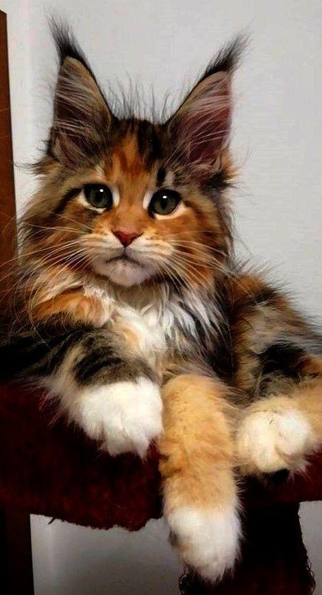 Amazing Main Coon Kitten...
