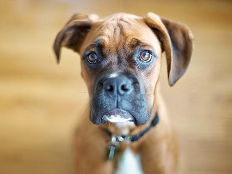 SAGITTARIUS: Boxer - What Dog Breed You Should Get According To Your Sign - Photos