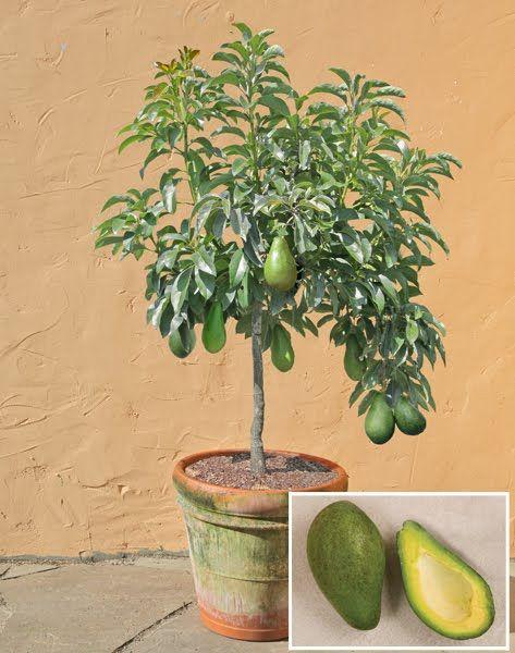 Дерево из косточки авокадо в домашних условиях