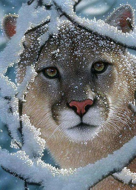 Still debating on this one......is it a Puma...? or a Mountain Lion.....compelling face and eyes.....might be photoshopped..? Hope not !!