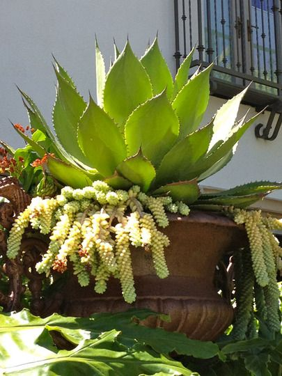Description: agave attenuata is a native mexican plant that forms rosettes of succulent-like, soft fleshy
