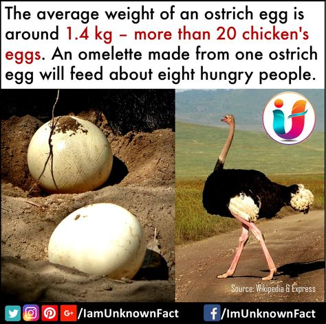 Ostrich eggs omelette