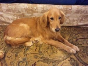 #OHIO ~ This is Annie an #adoptable 7 yr old #GoldenRetriever. She is spayed, current on vaccinations, potty trained and good with other dogs & cats. Her owners did not keep her on heartworm treatment and she contacted them so they treated her but they did not keep her on preventative meds and she contacted them again. She is undergoing treatment for a 2nd time and will be available soon. Annie is at Golden Treasures Golden Retriever Rescue, Ohio.