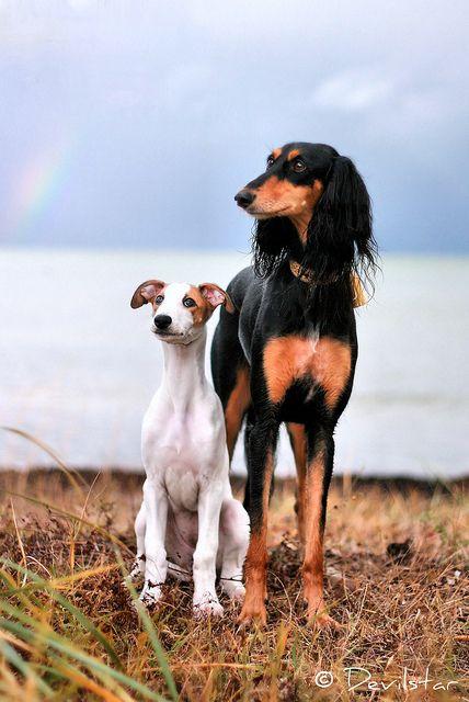 Greyhound Saara and Saluki Ramira.