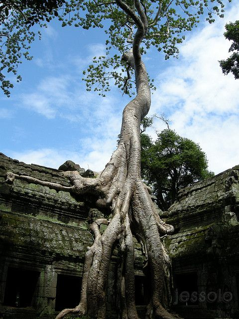 Ta Prohm, Siem Reap Province, KH  by jessoloof: Roots of Thikpok, 'Tetrameles nudiflora' Cambodia