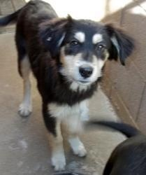 Waggles is an adoptable Spaniel Dog in Chester Springs, PA. For more information about this pet, please e-mail mailto:info@all4p... To adopt this pet, you will need to fill out an adoption applicat...