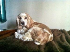 Teddy 5yr is an #adoptable #Cocker #SpanielDog in #Mentor, #OHIO. Teddy is currently fostered in Willoughby Ohio, and his adoption donation is $275 Teddy is an adorable 5 yr old male cocker spaniel with a b...