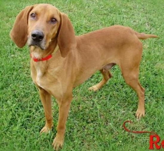 Redbone M senior named Rex in Marlinton, WV @ Pocahontas County Animal Shelter mailto:asapwva@gm...
