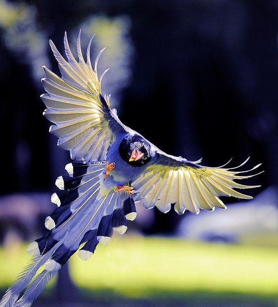 7) Blue Magpie bird