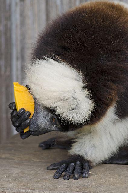 Cute Pet Lemur Eating Mango