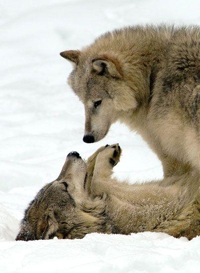 wolves gaze