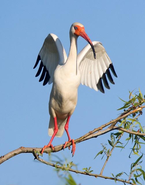 white ibis - eudocimus albus - by Darlene Boucher