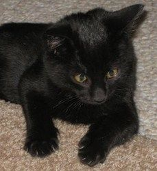 Dooney is an adoptable Domestic Medium Hair-Black Cat in Marietta, GA. Dooney was rescued at 9 weeks from the roof of a church. He loves to play, purr, and  hang out. He has been fully vetted to date,...