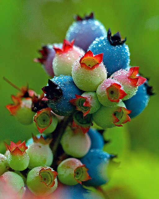 ripening blueberries--you can do wonders in a floral arrangement with these beauties