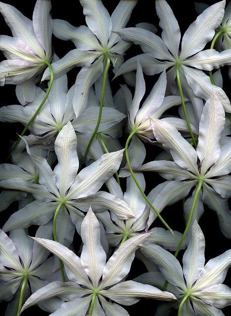 Clematis 'Lincoln Star' by horticultural art, via Flickr