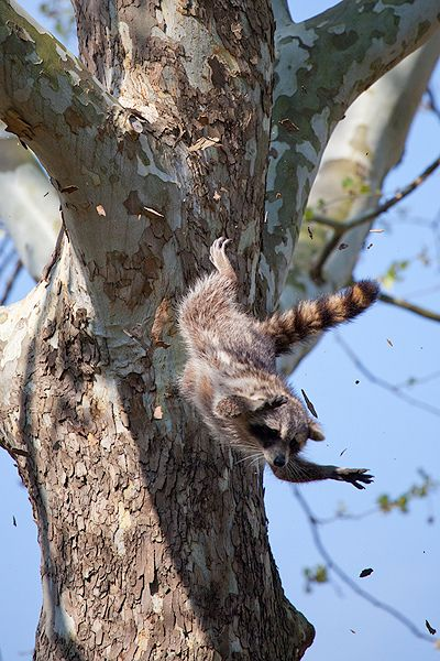 funnywildlife:  Flying Raccoon by Evan Animals on Flickr.#Stunning#Photo#