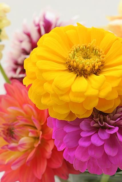 zinnias flowers (this pic would beautiful framed art for the home too!)