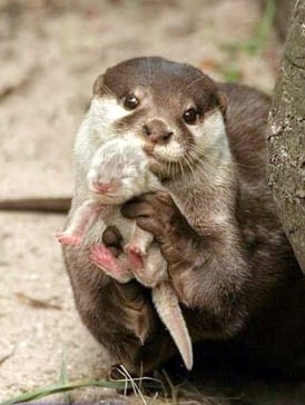 Mummy and bubby otter