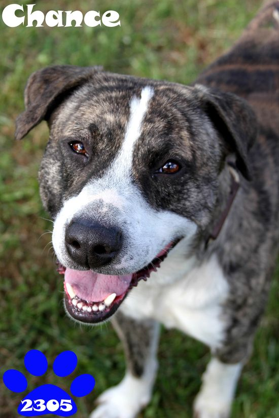 Adopted! Chance - Pit Bull Terrier mix - Georgetown, OH. 2 yrs old