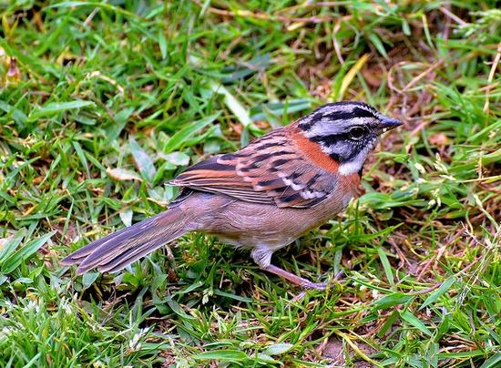 Rufous-collared Sparrow.