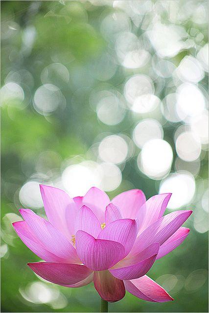 Lotus Flower at Sunrise - Macro -  by Bahman Farzad, via Flickr