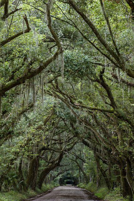 Edisto Island, South Carolina...looks like the dark hedges in Ireland