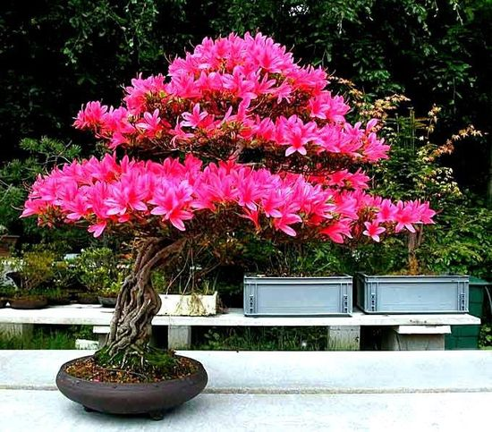Pink Flowering Bonsai