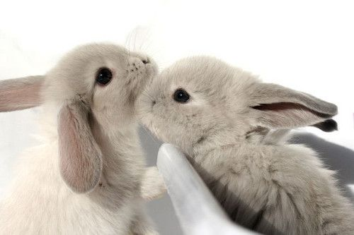 What a darling little pair of softly dusty grey hued love bunnies ? #cute #rabbit #bunny #Easter #animals #pets #grey #adorable #kiss #kissing