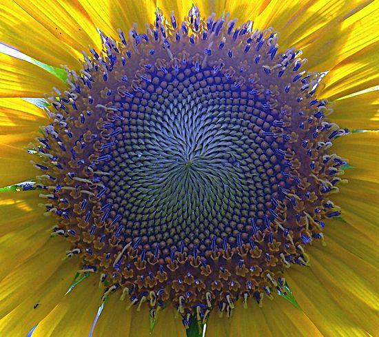 .sunflower