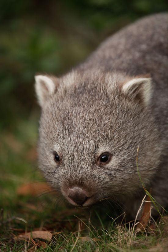 Wombat. There are three living species of wombat  all of which reside only in Australia. They are protected under Australian law. They are the Koala's closest living relative.