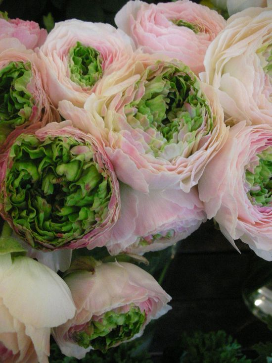 Ranunculus. Green and pink!