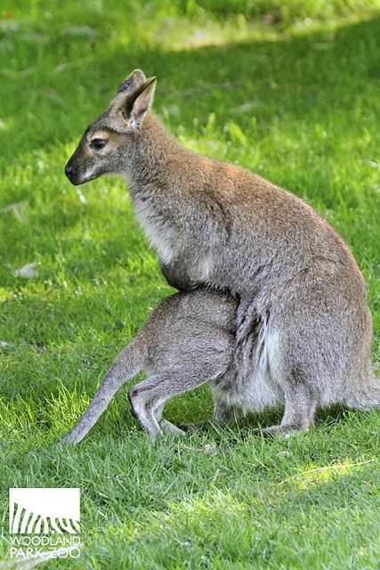 I'm goin' in, guys! baby wallaby