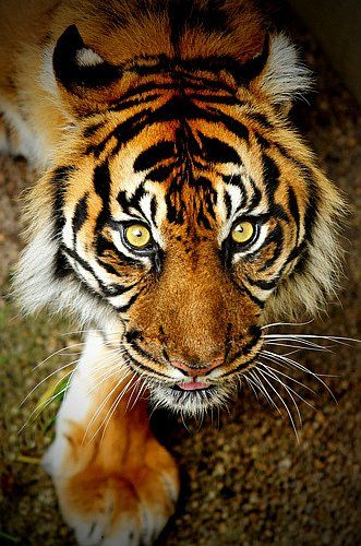 """The instant I saw this powerfully captivating image I was struck by the classic words of a Blake poem, """"Tiger, tiger, burning bright, in the forests of the night, what immortal hand or eye    could frame thy fearful symmetry?"""". #tiger #cat #big #wildlife #animal #magnificent"""
