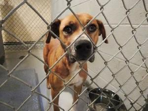 URGENT!!!! RESCUE NEEDED ASAP!!!! NASHVILLE NC,,,PLEASE REPIN!!!!!>>>Jelly Bean - CRITICAL! is an adoptable Labrador Retriever Dog in Nashville, NC. ~ URGENT ~ This pet is at what is considered a high kill Shelter.  The Shelter is estremely small and the pets have very...